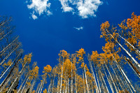 Aspen Trees - Colorado